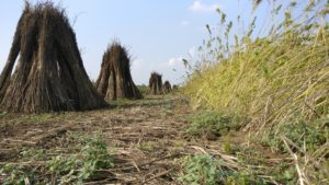 Hemp stems in a field after harvest
